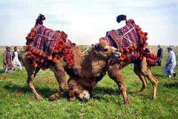 camelos-afeganistao.jpg